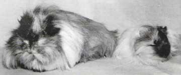 Ангорская морская свинка