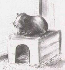 Период привыкания морской свинки