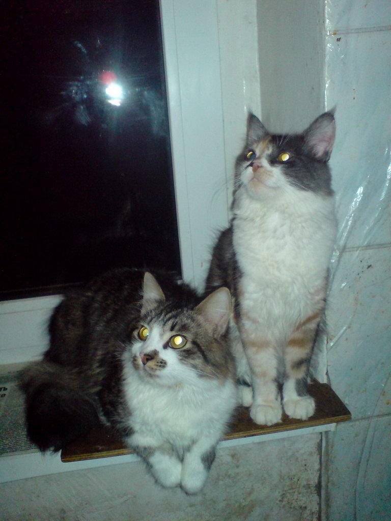 Пропала кошка и кот