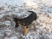 Нажмите чтобы увеличить.  Пропал щенок немецкой овчарки! - фото 1.