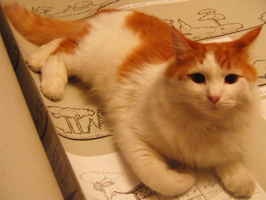 Фото рыжих котов с белым