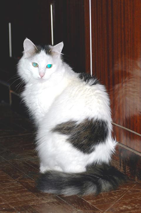 Белый кот с темными пятнами